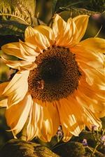 iPhone fondos de pantalla Girasol macro fotografia, pétalos, hojas, verano.