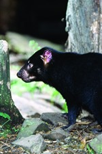 Preview iPhone wallpaper Tasmanian Devil, stump