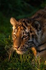 Tiger cub walking in the grass