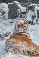Preview iPhone wallpaper Tiger look back, snow, winter