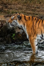 Preview iPhone wallpaper Tiger standing in water