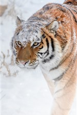 Preview iPhone wallpaper Tiger walking, snow, winter
