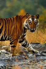 Preview iPhone wallpaper Tiger walking, wildlife, look