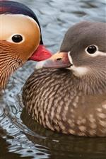2羽の鳥、マンダリンダック、水