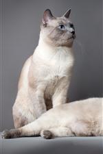 Dois gatos bonitos, olhos azuis, fundo cinzento
