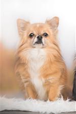 iPhone壁紙のプレビュー 2匹の犬、チワワ