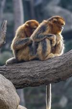 미리보기 iPhone 배경 화면 두 개의 황금 원숭이, 나무
