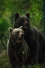Two gray bears, look, forest