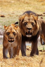 Two lions, front view, wildlife