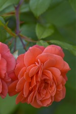 Two pink roses, green leaves