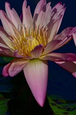 Preview iPhone wallpaper Two water lilies, pink petals