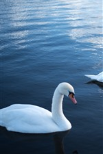 Preview iPhone wallpaper Two white swans, water, pond