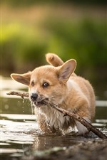 Preview iPhone wallpaper Welsh Corgi, puppy in water, sticks