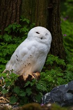 Preview iPhone wallpaper White and gray owls, forest