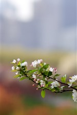White apple flowers bloom, spring, twigs
