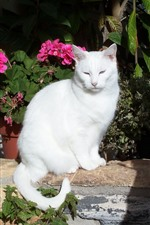 Preview iPhone wallpaper White cat, sunshine, flowers