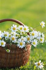 Manzanilla blanca, cesta, hierba verde, verano