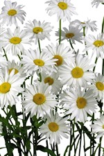 Preview iPhone wallpaper White chamomile flowers, white background