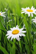 Preview iPhone wallpaper White daisy, green leaves