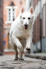 Preview iPhone wallpaper White dog running, street, city