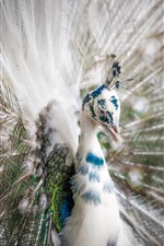Preview iPhone wallpaper White feather peacock, tail opened