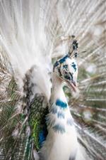 미리보기 iPhone 배경 화면 흰색 깃털 공작, 꼬리 열림