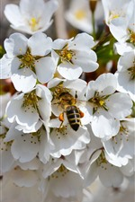 Preview iPhone wallpaper White flowers, bee, spring