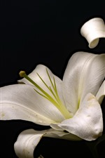 Preview iPhone wallpaper White lilies, black background