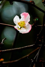Pétalos de color rosa blanco, flores de ciruela, ramas, primavera