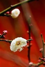 White plum flowers, red background