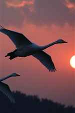 Preview iPhone wallpaper White swans flight, sunset, sky