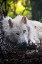 Preview iPhone wallpaper White wolf sleep, look, forest