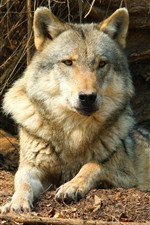 Preview iPhone wallpaper Wolf rest, wildlife, front view