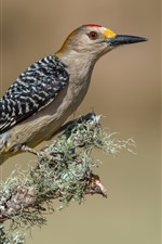 Preview iPhone wallpaper Woodpecker, bird, tree branch