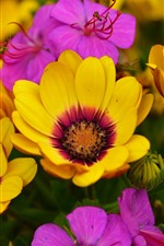 Preview iPhone wallpaper Yellow and pink osteospermum flowers