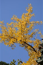Preview iPhone wallpaper Yellow apricot tree leaves, roof, blue sky