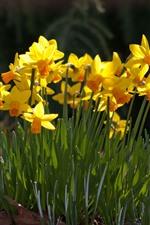 미리보기 iPhone 배경 화면 노란 꽃, 대포, 봄