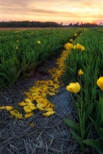 Yellow tulips field, petals, sunset
