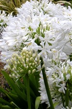 Preview iPhone wallpaper Agapanthus, white flowers
