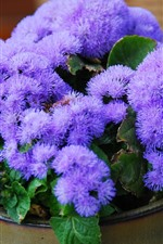 Preview iPhone wallpaper Ageratum, purple flowers
