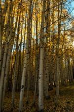 Autumn, birch, trees, sun rays