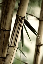 Bamboo, leaves, hazy