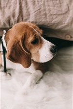 Preview iPhone wallpaper Beagle dog, bed
