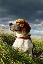 Preview iPhone wallpaper Beagle, dog, grass, summer