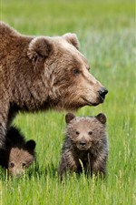 Bear family, mother and cub, green grass