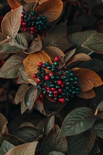 Preview iPhone wallpaper Berries, leaves, plants