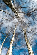 Preview iPhone wallpaper Birch, trees, sky, from bottom view