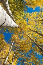 Preview iPhone wallpaper Birch, trees, yellow leaves, blue sky, autumn
