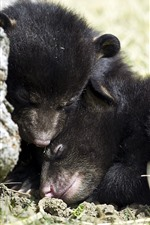 Preview iPhone wallpaper Black bear cubs