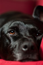 Black dog rest, red chair